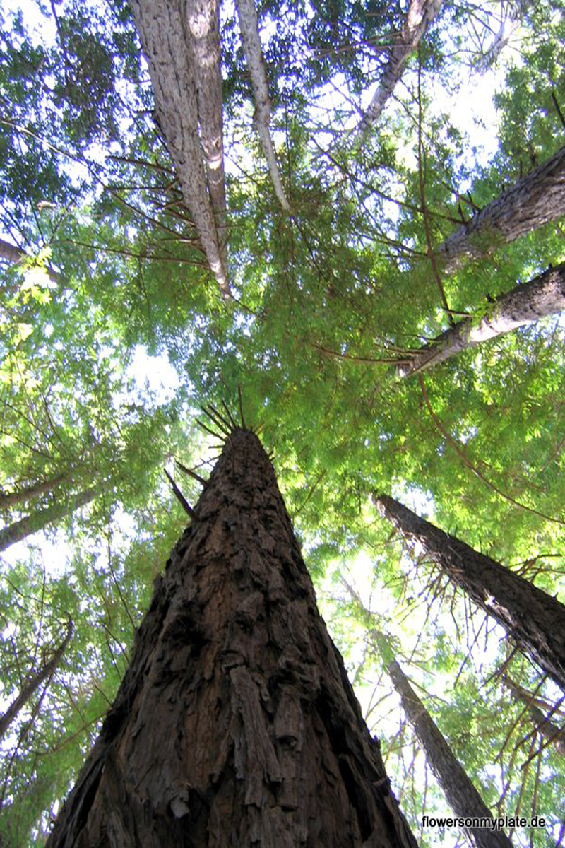 Glas statt Plastik: Redwood-Trees-Big-Sur-California